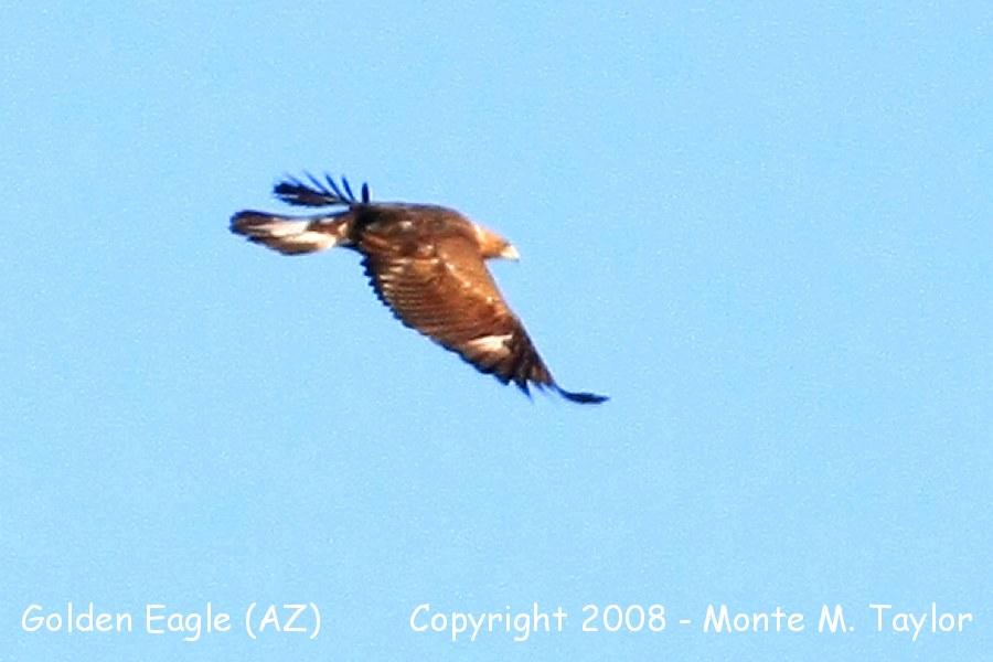 golden eagle in flight. Golden Eagle