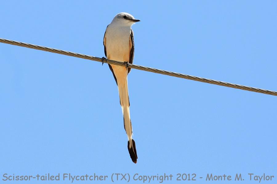 Scissor tailed flycatcher clipart - photo#27