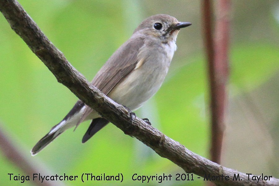 Taiga Flycatcher -winter- (Kaeng Krachen National Park, Petchaburi, Thailand)