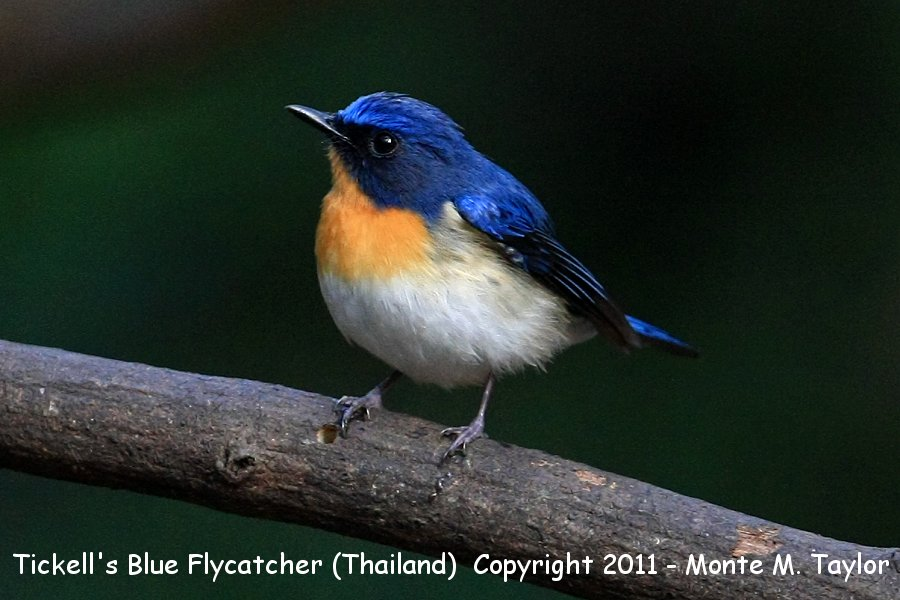 Tickell's Blue Flycatcher -winter male- (Kaeng Krachen National Park, Petchaburi, Thailand)