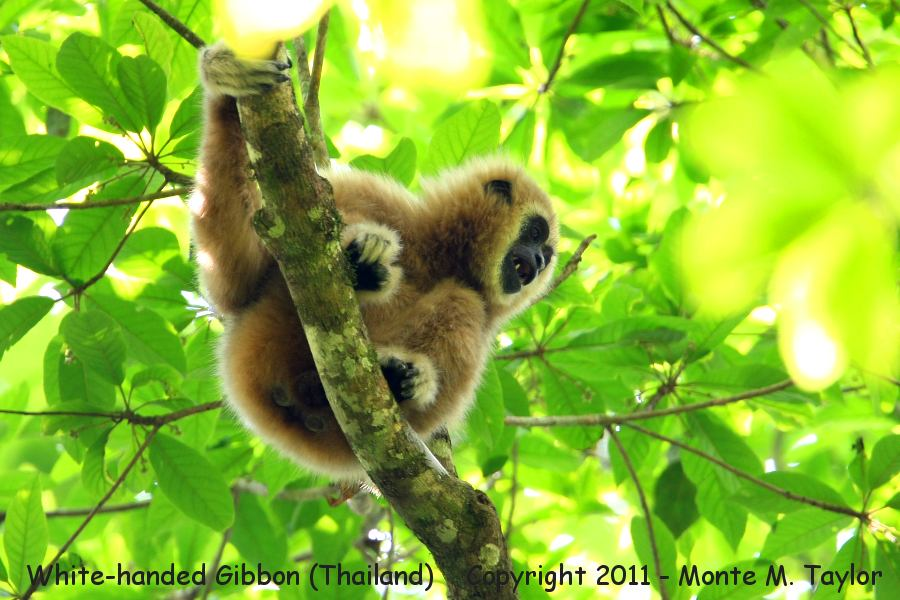 White-handed Gibbon -winter- (Kaeng Krachan National Park, Thailand)