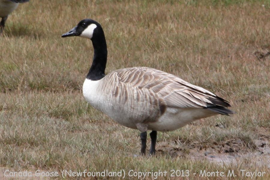 Canada Goose -spring- (Newfoundland, Canada)