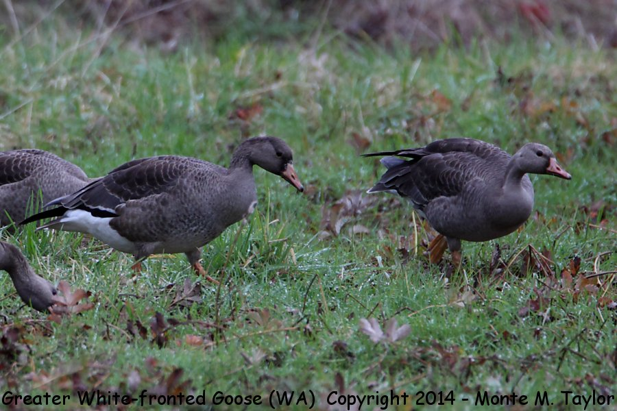 Greater White Fronted Goose Juvenile