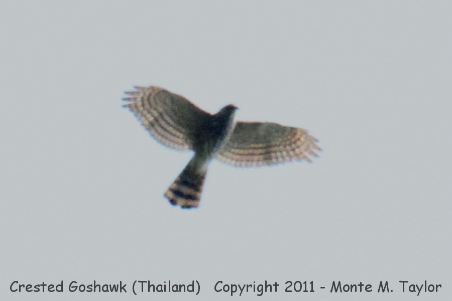 Crested Goshawk -winter- (Kaeng Krachen National Park, Thailand)