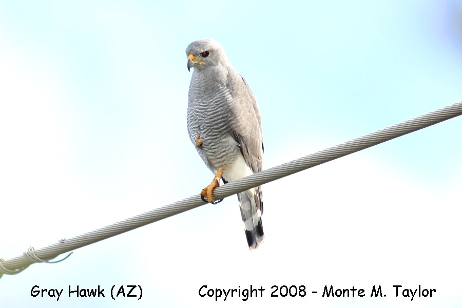gray hawk chat Grey hawk 41-44 cm male 391-470 g, female 552-688 g#r, wingspan 89 cm intermediate in shape between typical buteo and accipiter, with fairly short wings, longish.