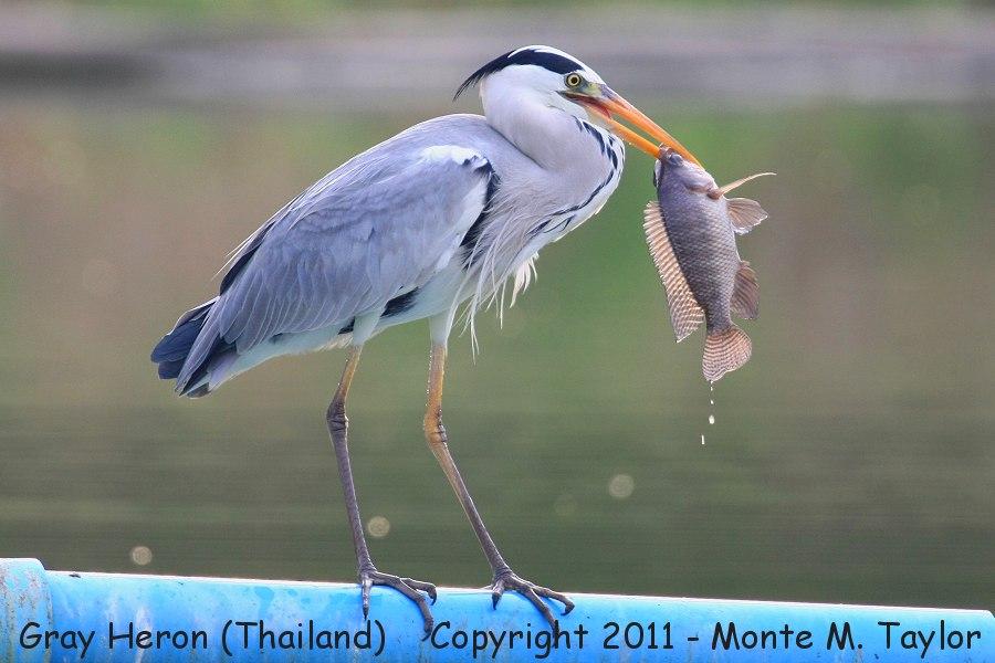 Gray Heron -winter- (Laem Pak Bia, Petchaburi, Thailand)
