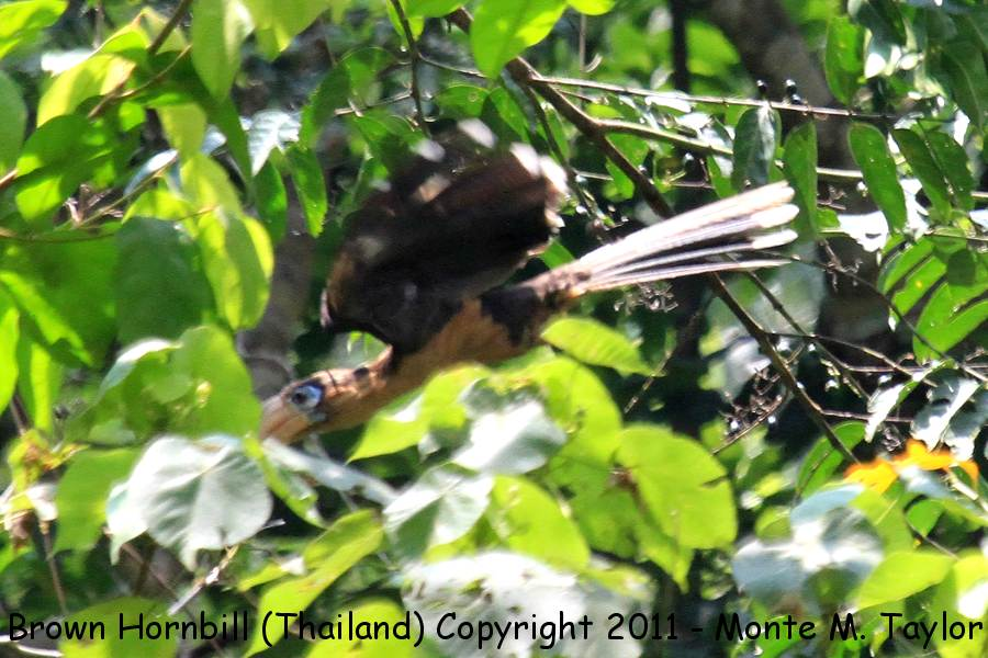 Brown Hornbill -winter- (Kaeng Krachen National Park, Petchaburi, Thailand)