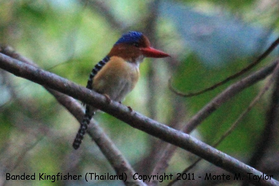 Banded Kingfisher -winter male- (Kaeng Krachen National Park, Thailand)