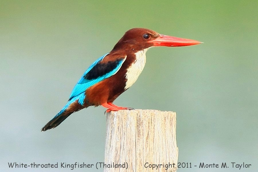 White-throated Kingfisher -winter- (Laem Pak Bia, Petchaburi, Thailand)