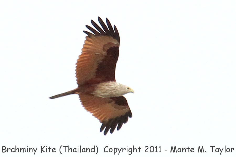 Brahminy Kite -winter- (Thailand)