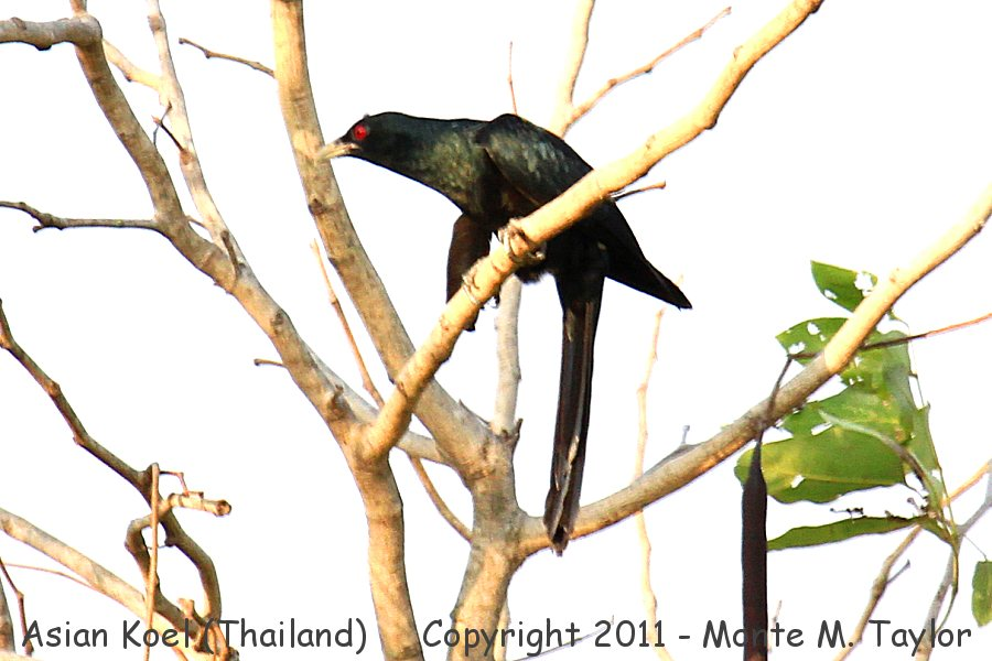 Asian Koel -winter- (Petchaburi, Thailand)