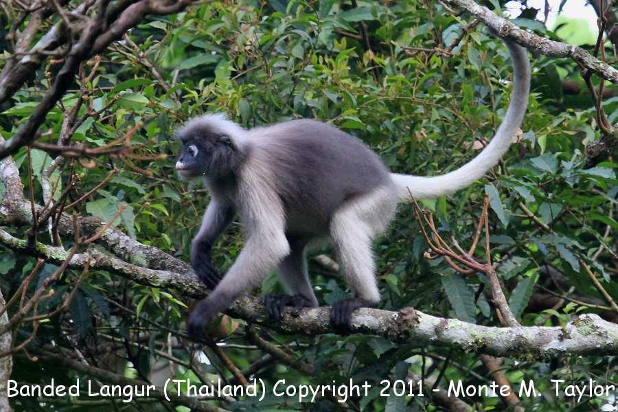 Banded Langur -winter / Banded Leaf Monkey (Kaeng Krachen National Park, Thailand)