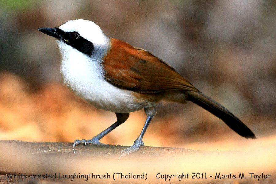 White-crested Laughingthrush -winter- (Kaeng Krachan National Park, Thailand)