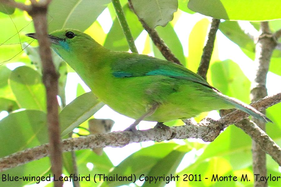 Blue-winged Leafbird -winter female- (Kaeng Krachen National Park, Thailand)