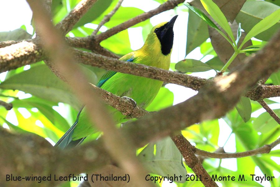 Blue-winged Leafbird -winter male- (Kaeng Krachen National Park, Thailand)