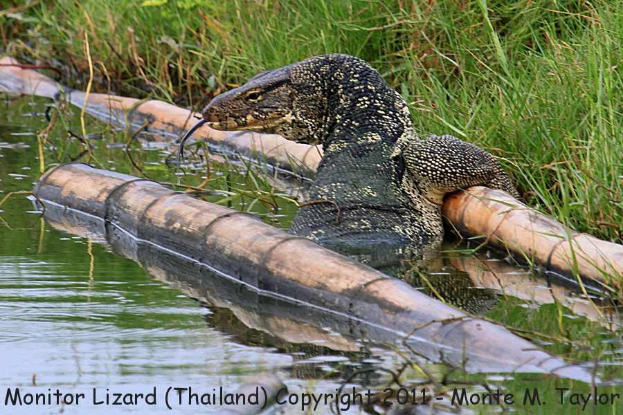 Monitor Lizard -winter- (Laem Pak Bia, Petchaburi, Thailand)