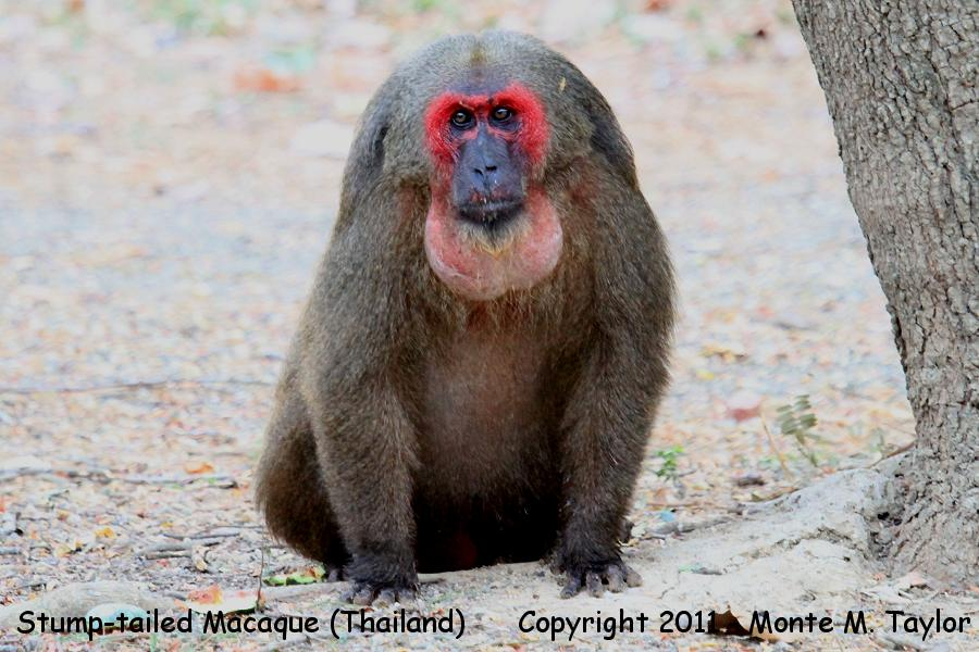 Stump-tailed Macaque -winter- (Kaeng Krachen National Park, Petchaburi, Thailand)