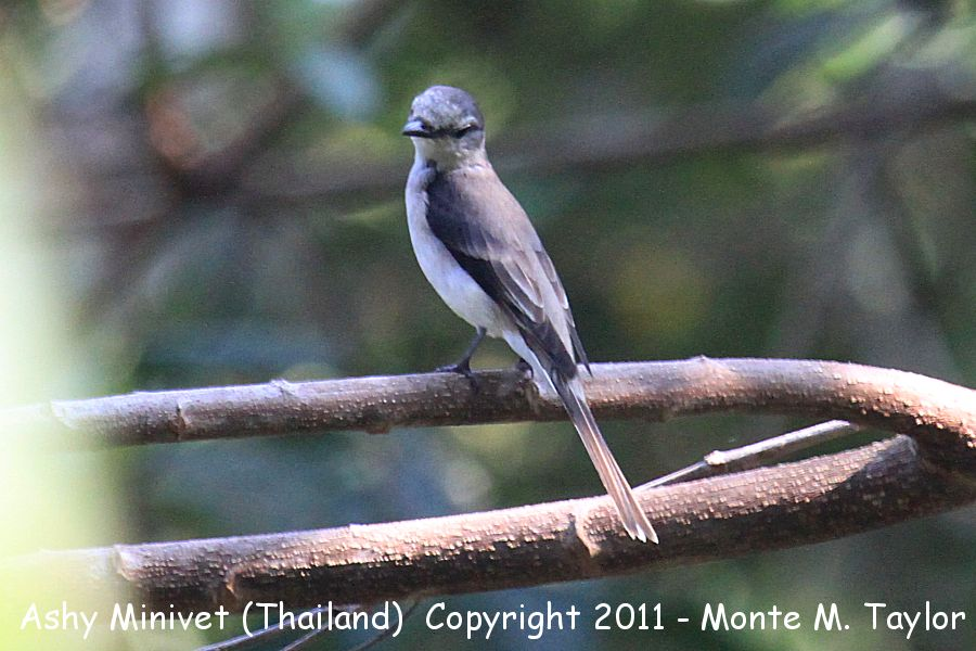 Ashy Minivet -winter female- (Kaeng Krachen National Park, Petchaburi, Thailand)