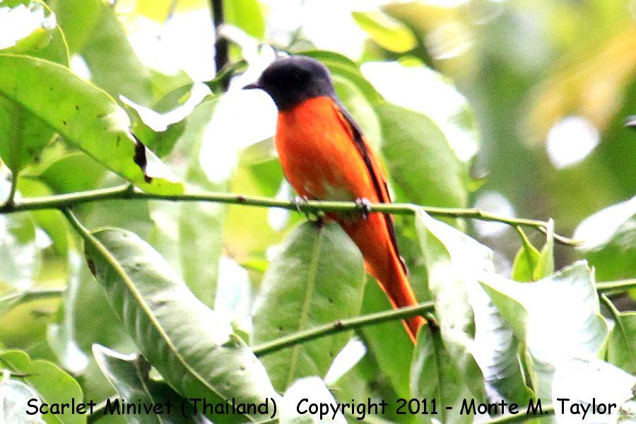 Scarlet Minivet -winter- (Kaeng Krachen National Park, Petchaburi, Thailand)