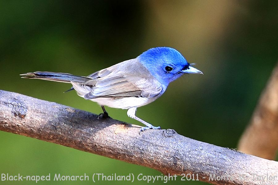 Black-naped Monarch -winter female- (Kaeng Krachen National Park, Petchaburi, Thailand)