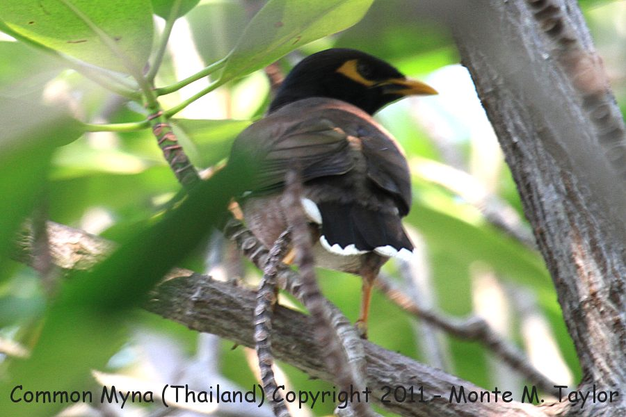 Common Myna -winter- (Petchaburi, Thailand)