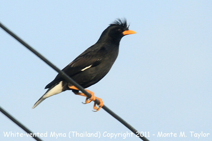 White-vented Myna -winter- (Petchaburi, Thailand)