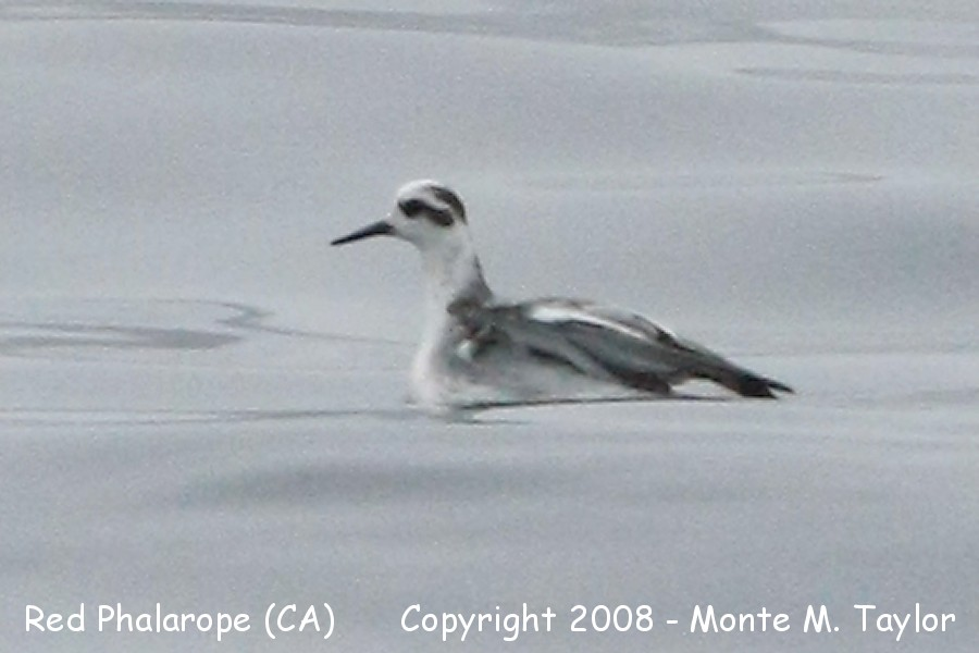 Red Phalarope Winter Red Phalarope Winter