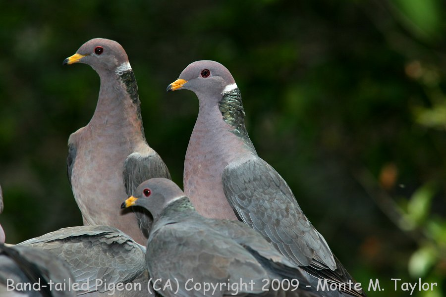 Band tailed pigeon sound