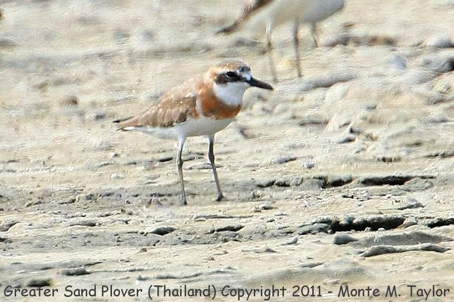 Greater Sand Plover -winter- (Pak Thale, Petchaburi, Thailand)