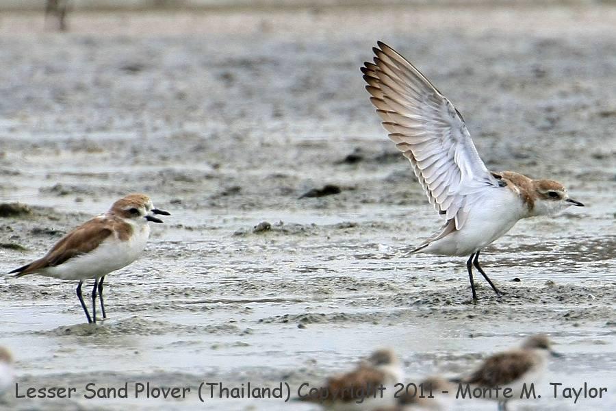 Lesser Sand Plover -winter- (Khok Kham, Petchaburi, Thailand)