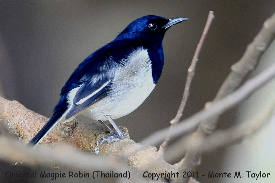 Oriental Magpie Robin -winter- (Petchaburi, Thailand)