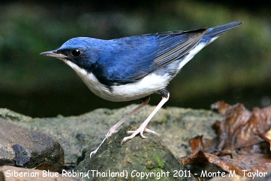 Siberian Blue Robin -winter male- (Kaeng Krachen National Park, Thailand)