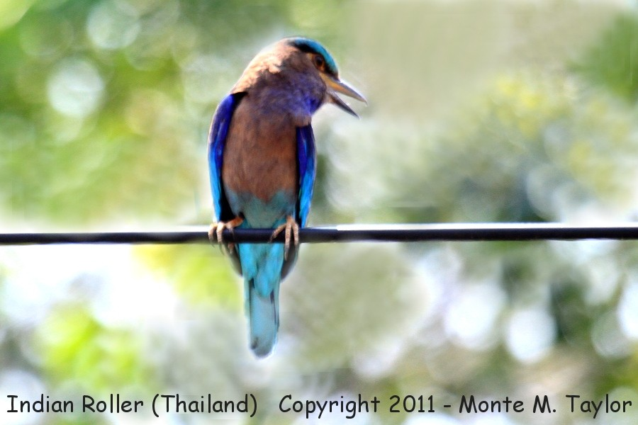 Indian Roller -winter- (Kaeng Krachen National Park, Petchaburi, Thailand)