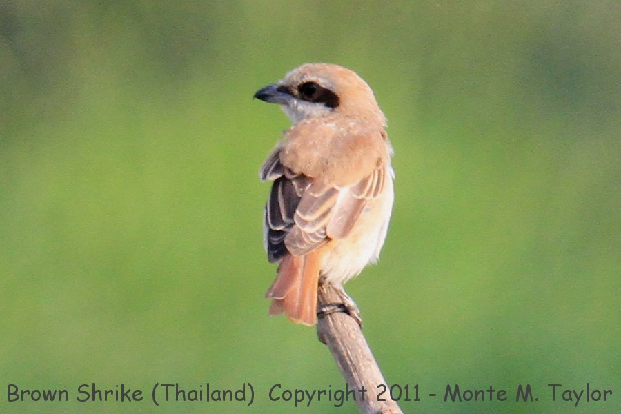Brown Shrike -winter- (Petchaburi, Thailand)
