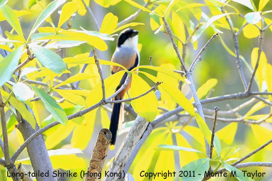 Long-tailed Shrike -winter- (Hong Kong,China)