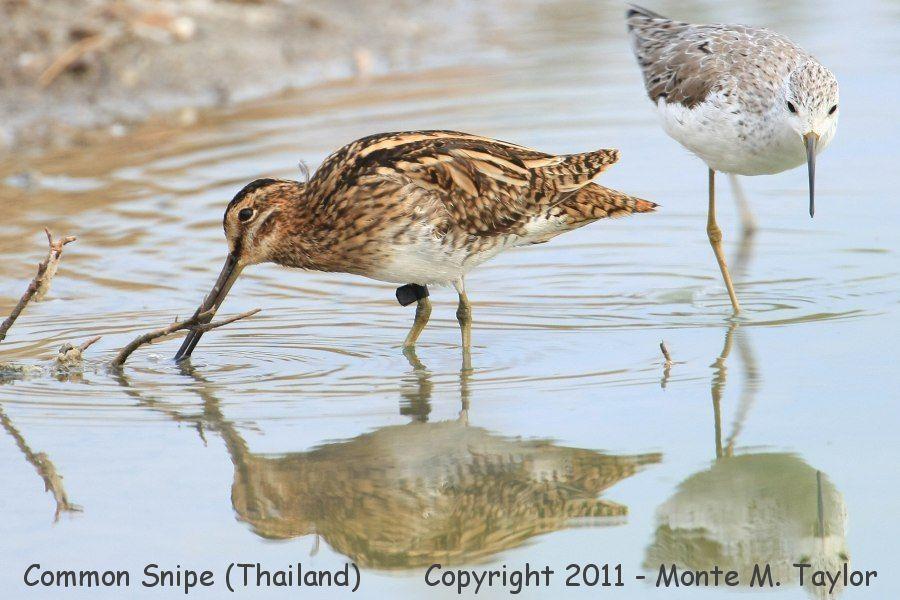 Common Snipe w/Marsh Sandpiper -winter- (Laem Pak Bia, Petchaburi, Thailand)