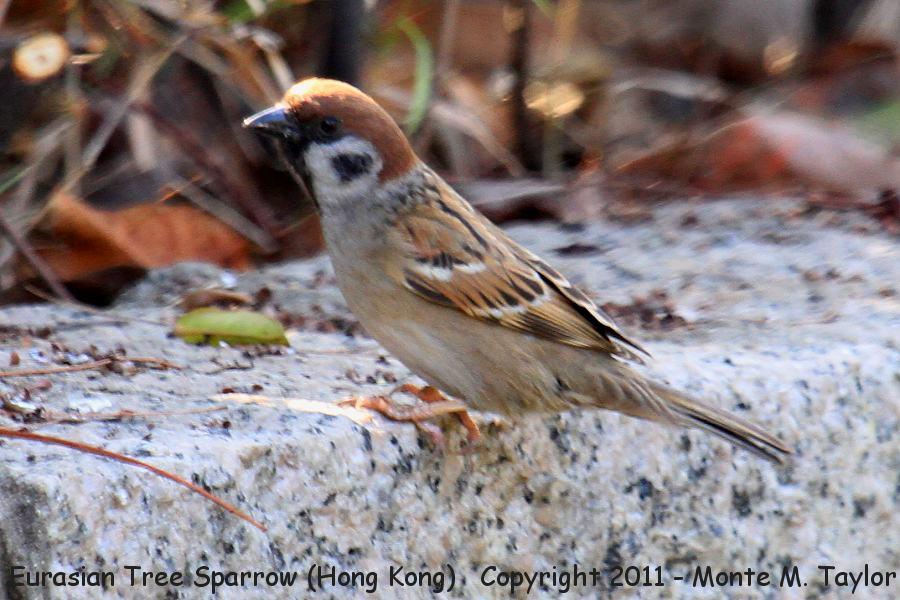 Eurasian Tree Sparrow -winter male- (Hong Kong, China)