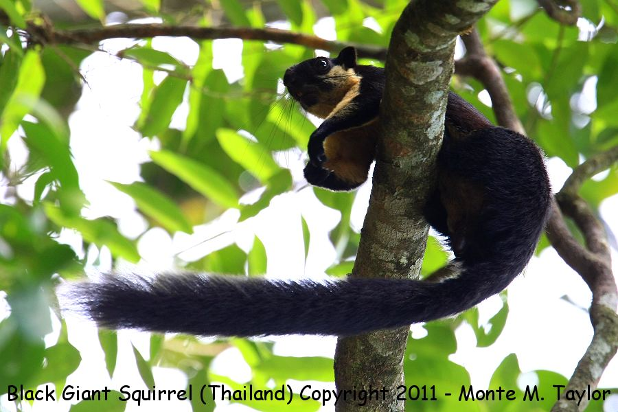 Black Giant Squirrel -winter- (Kaeng Krachen National Park, Thailand)