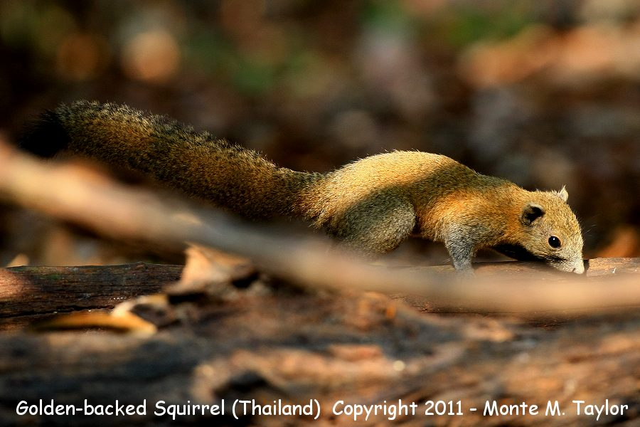 Golden-backed Squirrel -winter- (Kaeng Krachen National Park, Petchaburi, Thailand)
