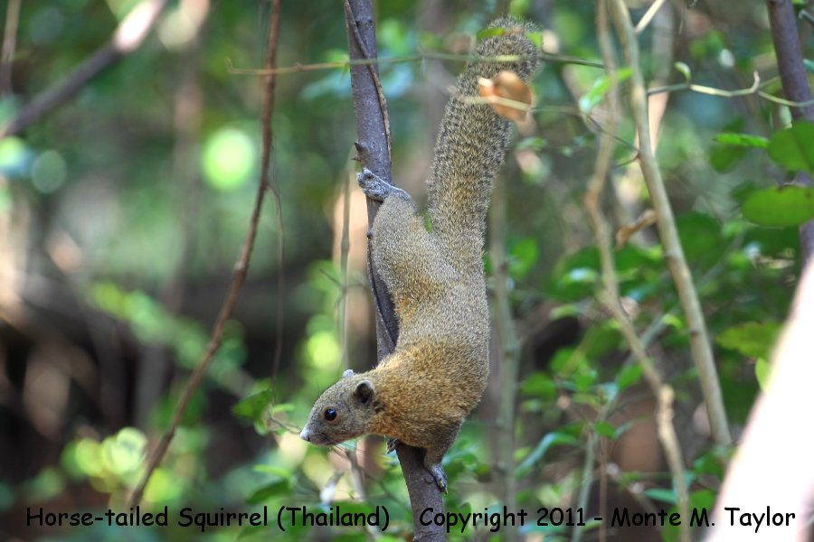 Horse-tailed Squirrel -winter- (Kaeng Krachen National Park, Petchaburi, Thailand)