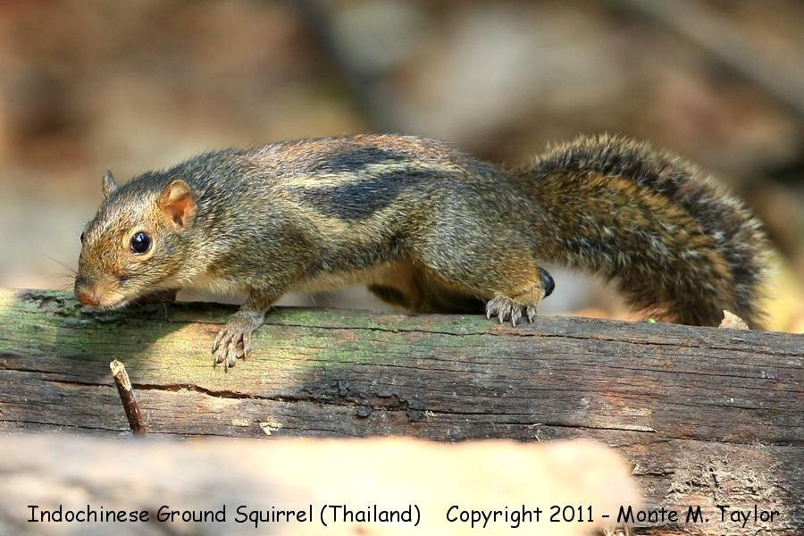 Indochinese Ground Squirrel -winter- (Kaeng Krachen National Park, Petchaburi, Thailand)