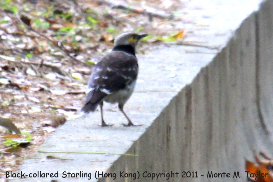 Black-collared Starling -winter- (Hong Kong, China)