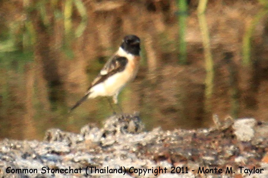 Common Stonechat -winter male- (Petchaburi, Thailand)