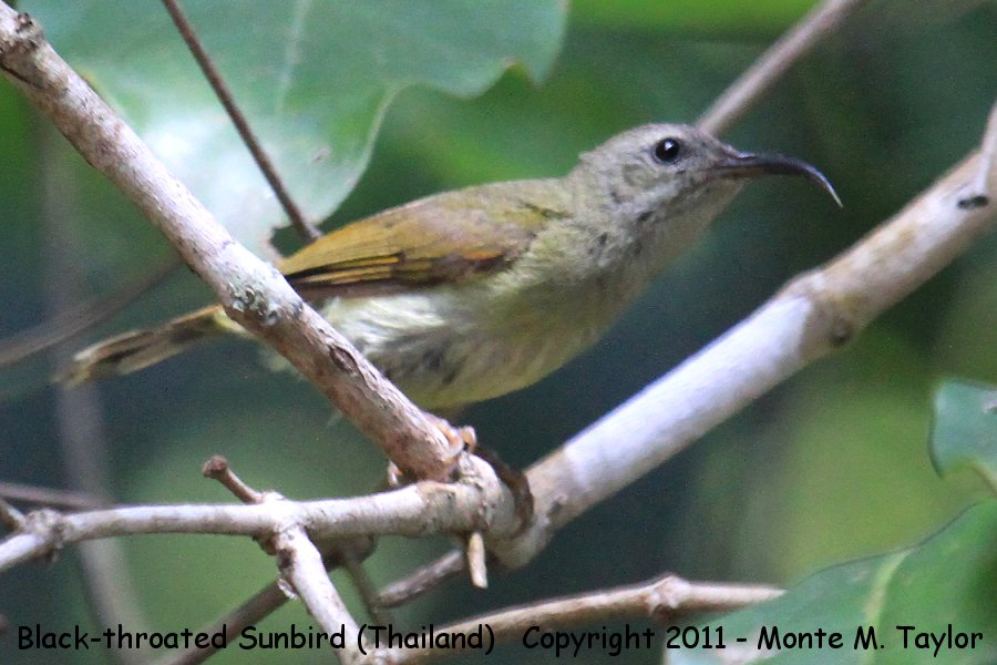 Black-throated Sunbird -winter female- (Kaeng Krachen National Park, Petchaburi, Thailand)
