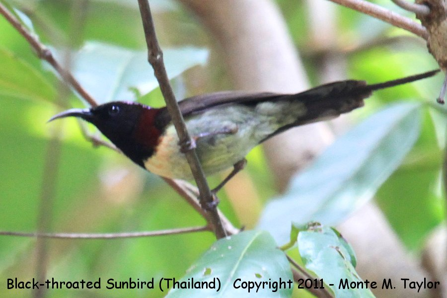 Black-throated Sunbird -winter male- (Kaeng Krachen National Park, Petchaburi, Thailand)