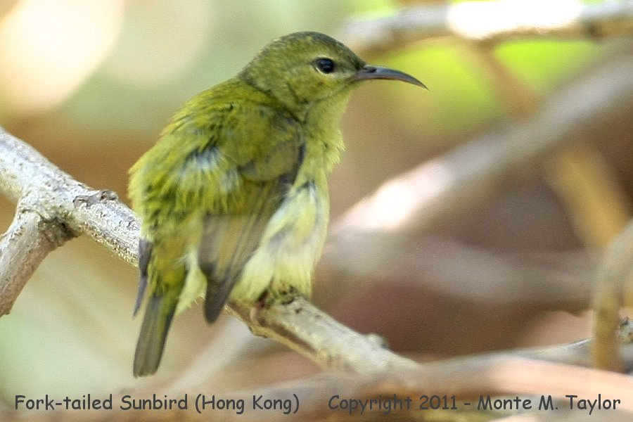 Fork-tailed Sunbird -winter female- (Kaeng Krachen National Park, Petchaburi, Thailand)