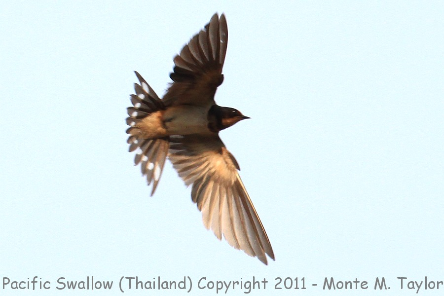 Pacific Swallow -winter- (Kaeng Krachen National Park, Petchaburi, Thailand)