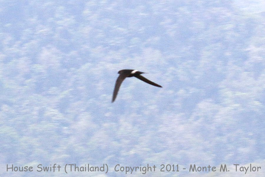 House Swift -winter- (Kaeng Krachen National Park, Petchaburi, Thailand)