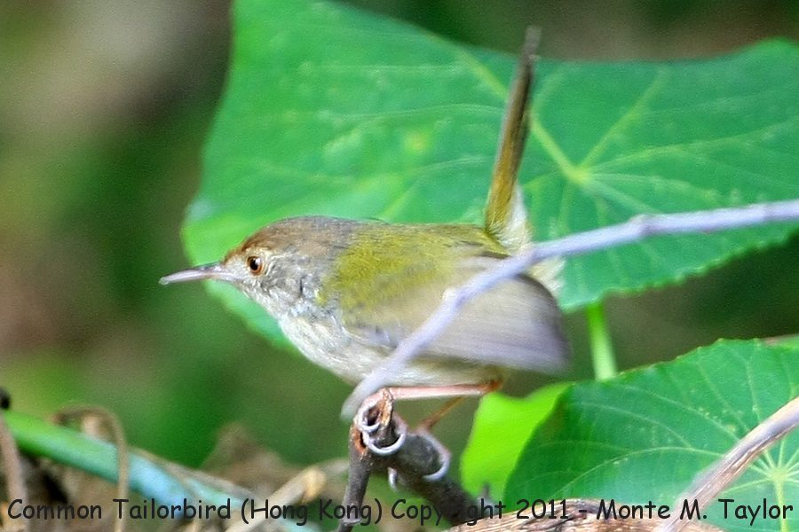 Common Tailorbird -winter- (Hong Kong, China)