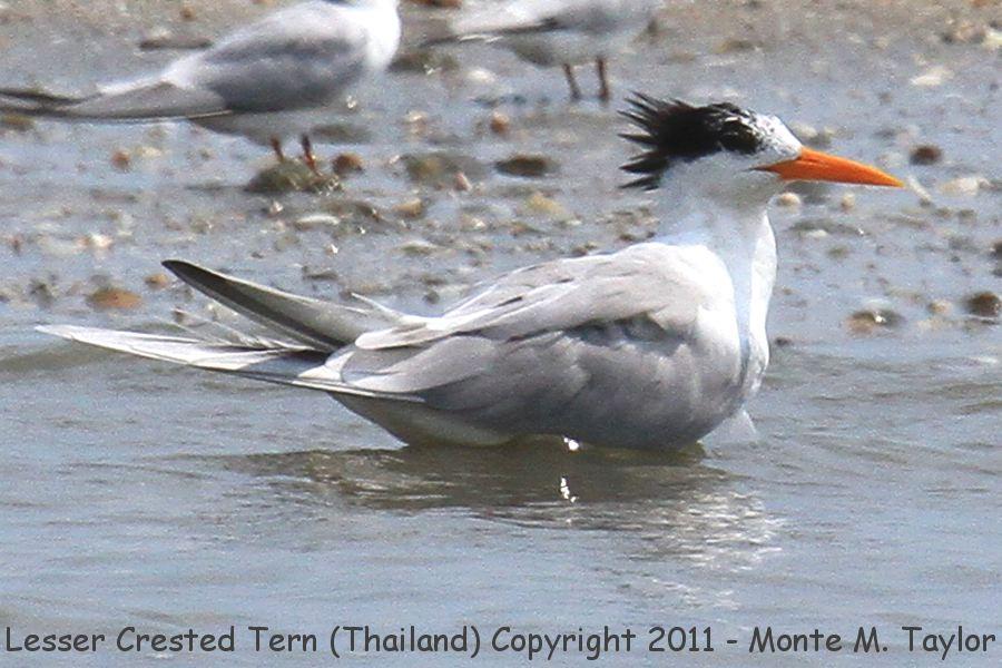 Lesser Crested Tern -winter- (Laem Pak Bia, Petchaburi, Thailand)